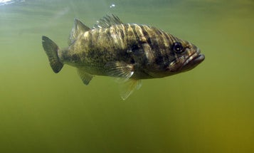 How to Sight Fish for Cruising Bass