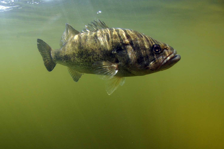 A largemouth bass swimming underwater.