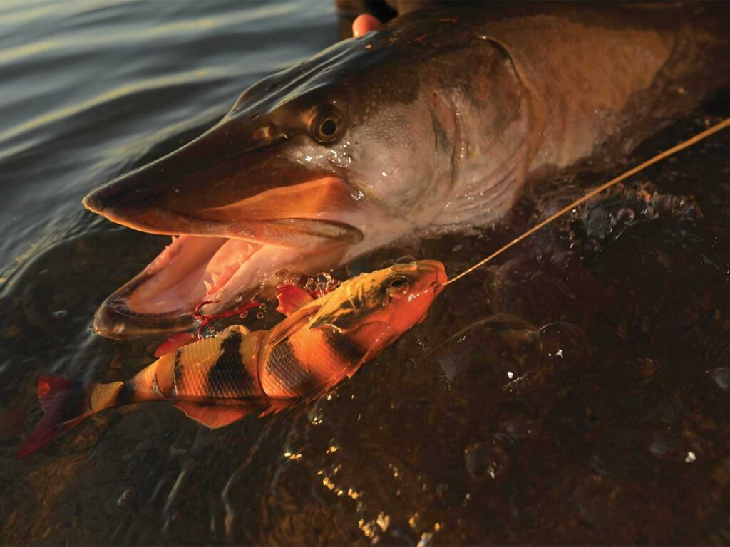 A large muskie caught on a lure.