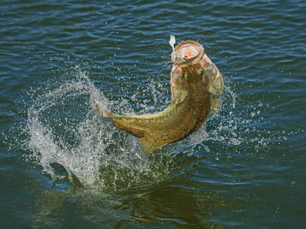 A largemouth bass caught on a lure jumping out of the water.