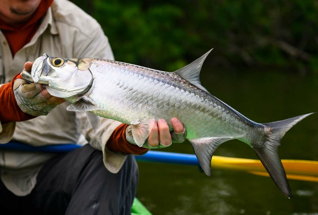 An angler holding up a tarpon near a river.