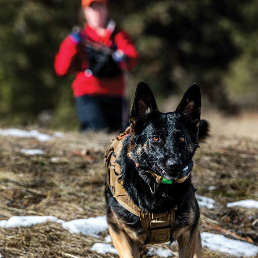 A search and rescue dog during a training course.