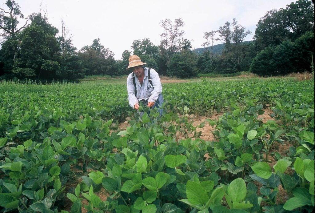 A hunter tending warm season soybeans in a field.