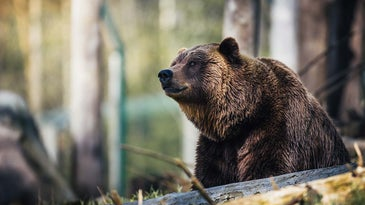 A grizzly bear in the woods.