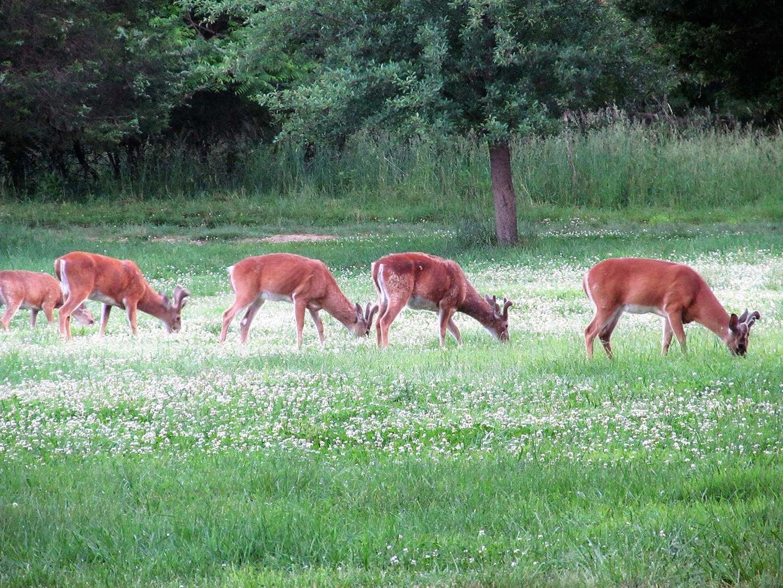 Velvet bucks feeding in white clover food plot in Virginia.