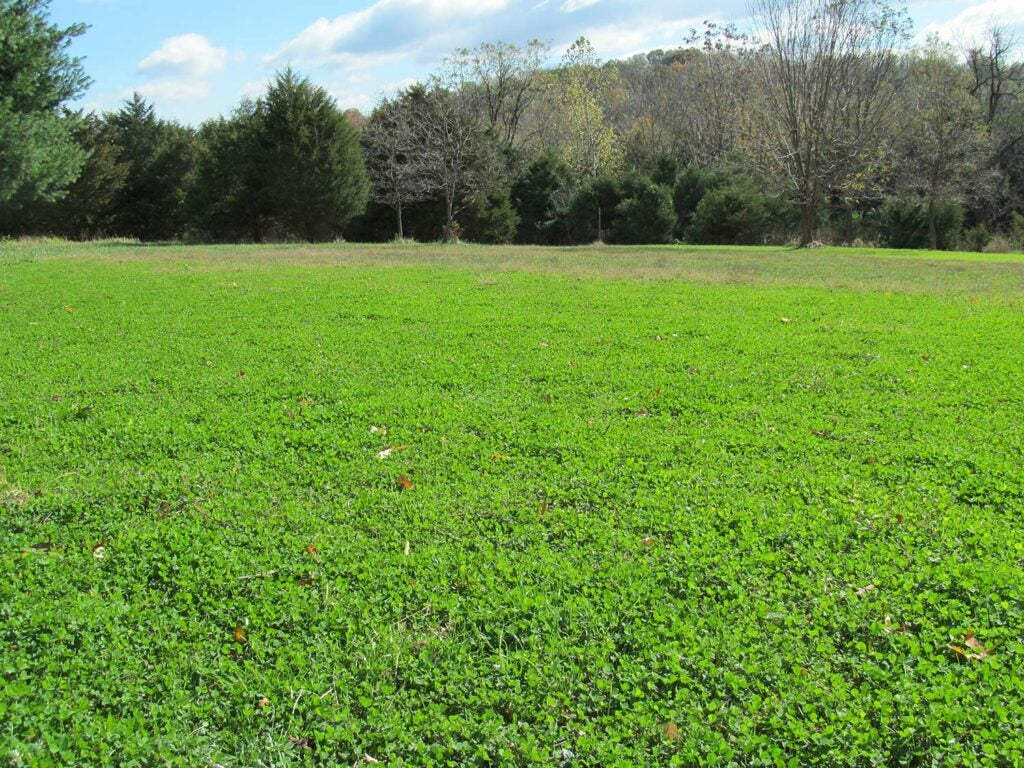 A field of white clover.