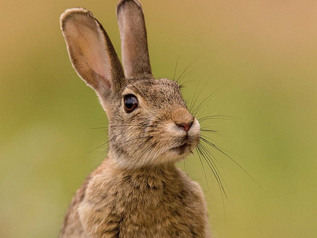 Closeup shot of a small cottontail rabbit.