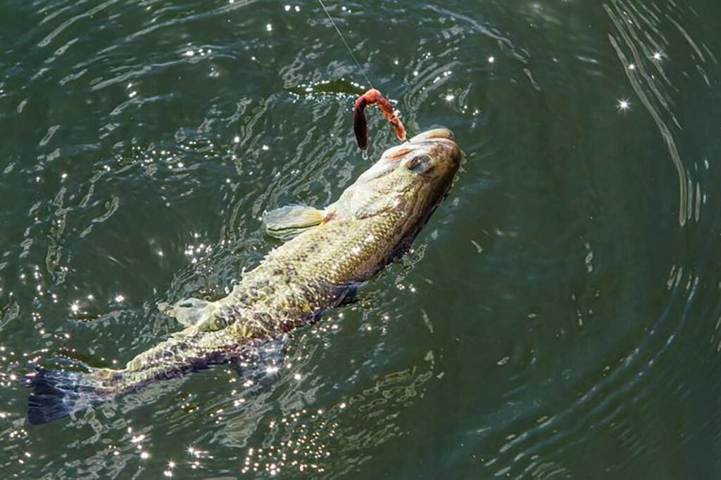 A fish on the hook in Lake of the Ozarks