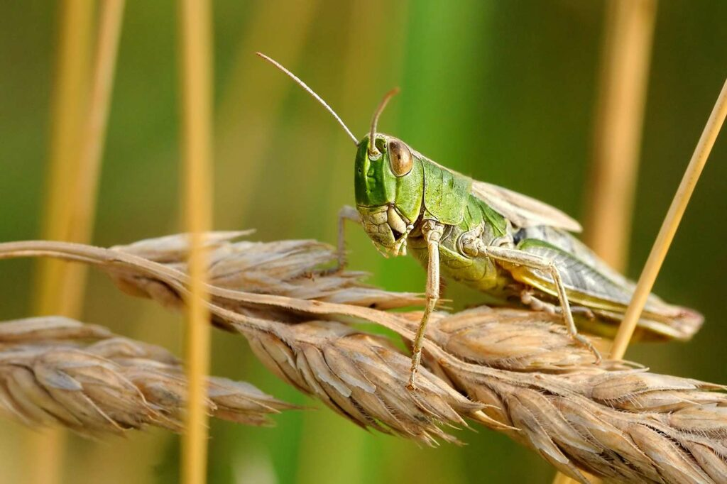 A locust on a wheat stalk.