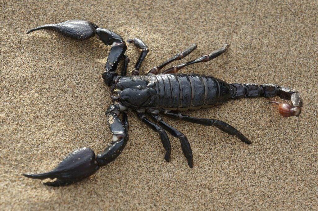 A black scorpion.