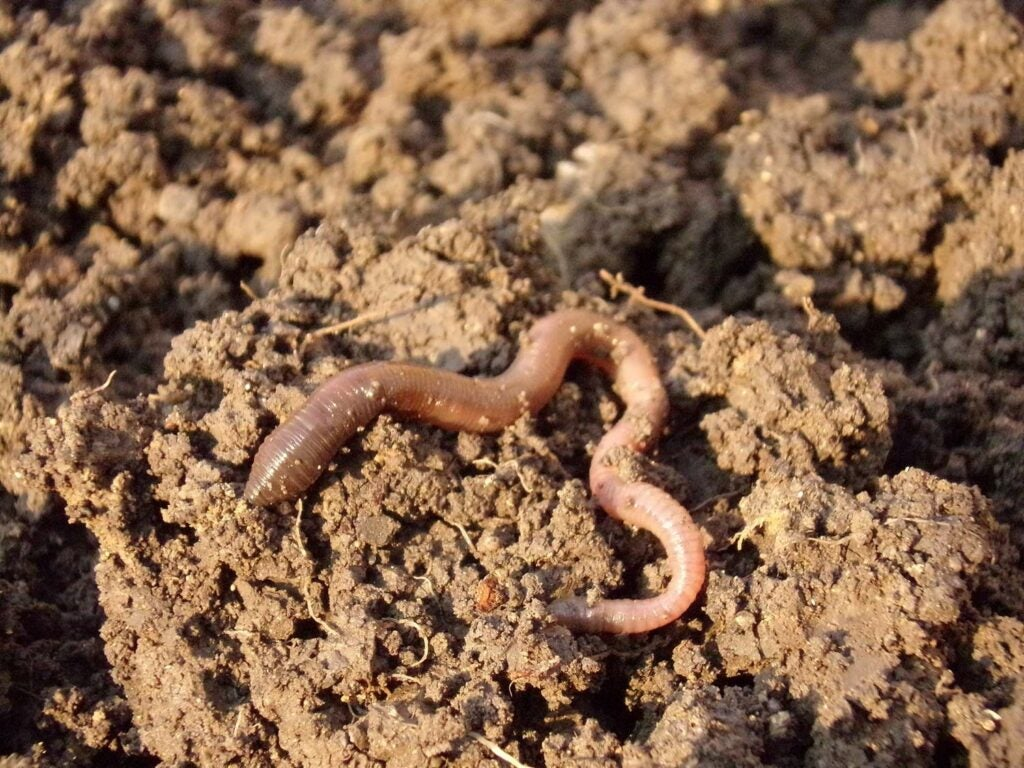 Earthworms on the ground.