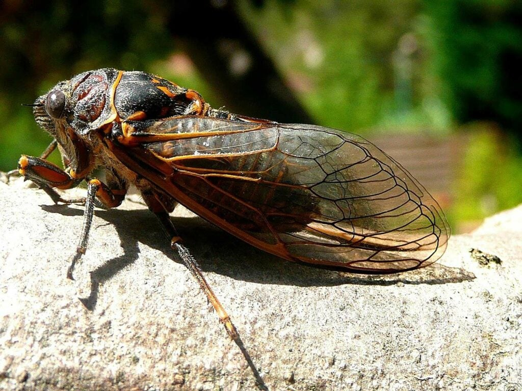 A large cicada on a tree branch.