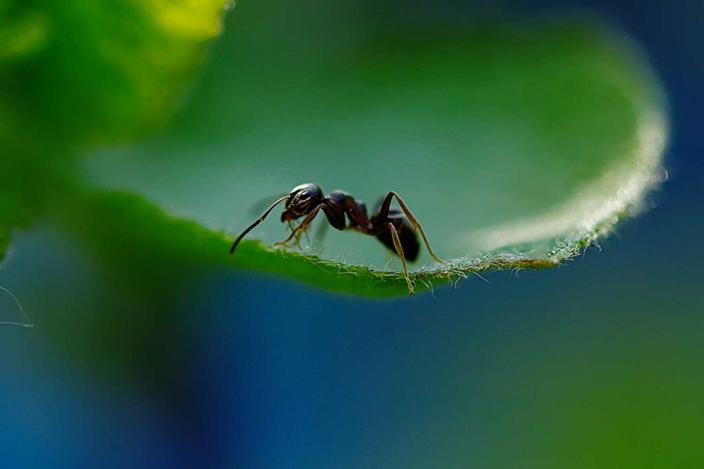 A single black ant on a leaf.