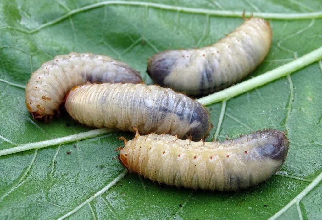 White grubs on a leaf.