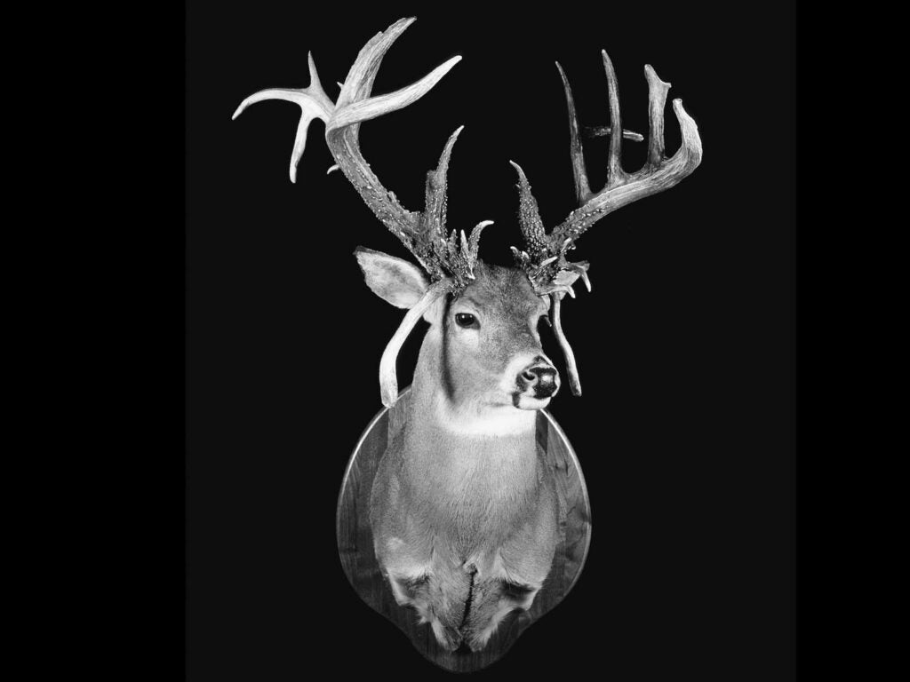 A black and white photo of a mounted whitetail buck.