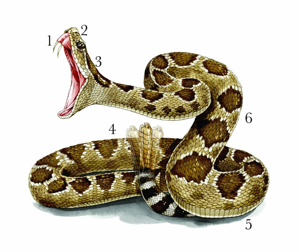 illustration-of-rattlesnake