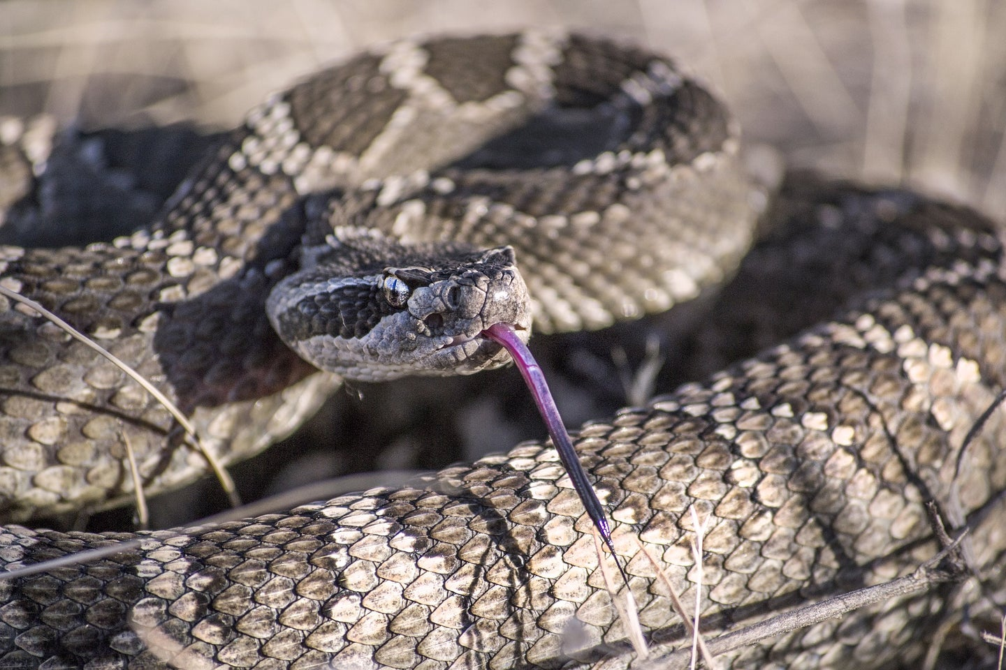 A coiled up rattlesnake ready to strike.
