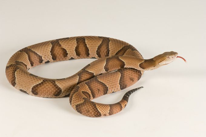 cottonmouth-snake