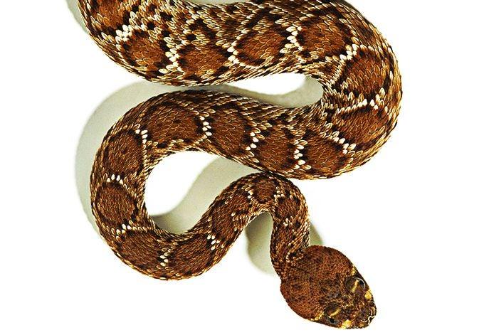 rattlesnake-photograph