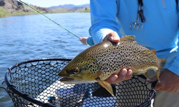 How to Fish for Trout During the Summer Trico Hatch