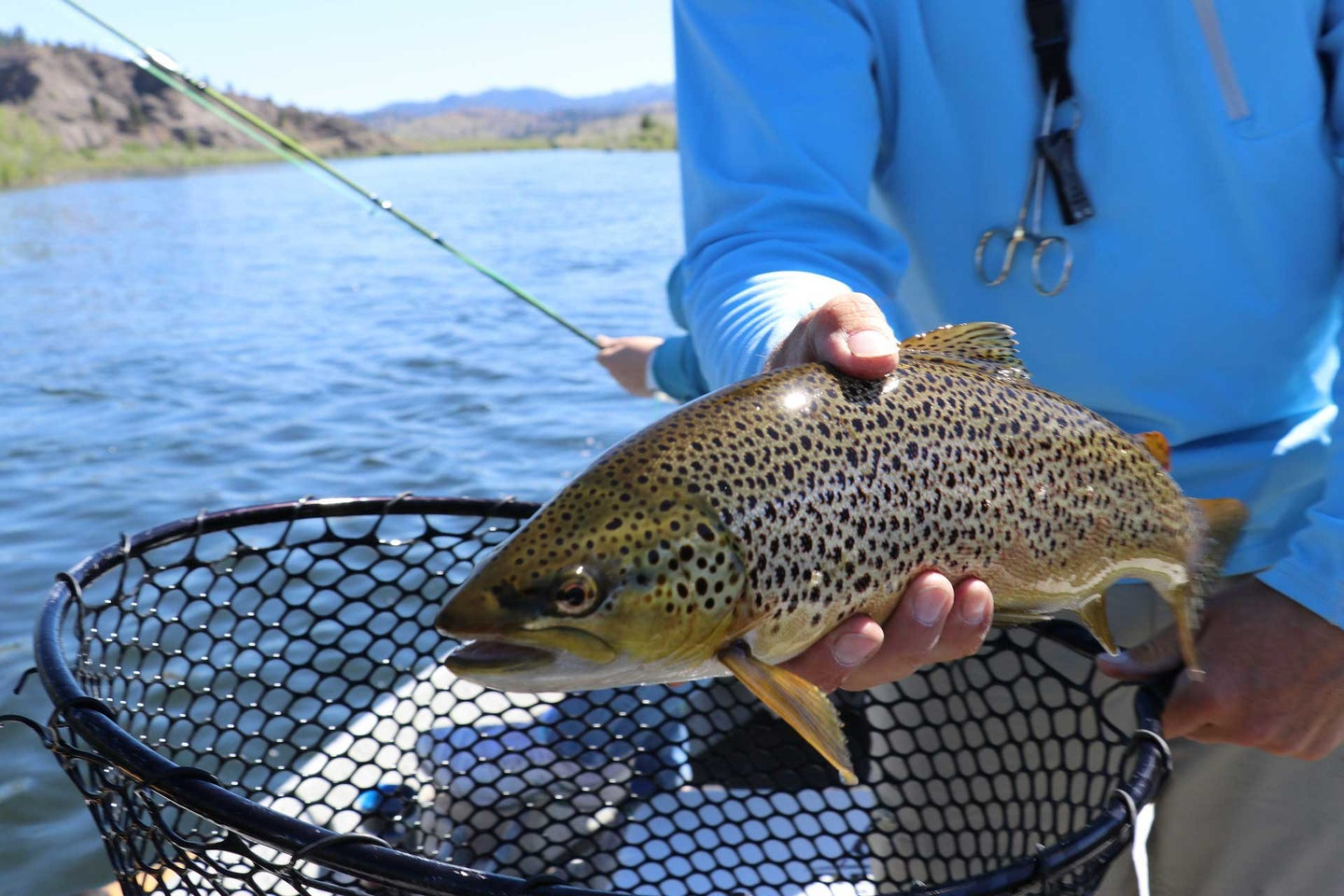 A brown trout being pulled out of a fishing net.