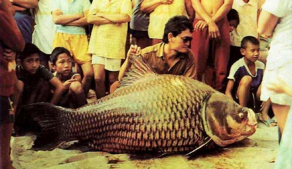 A group of people standing around a large freshwater fish, a 270-pound Giant Siamese Carp.