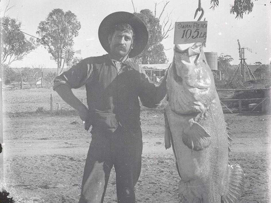 A black and white photo of an angler posing next to a large 105-pound Murray Cod.