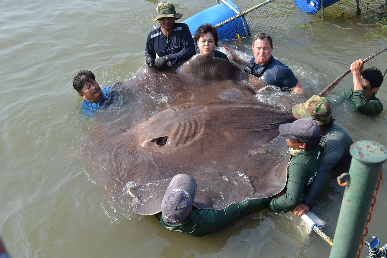 A group of anglers holding up a large 661 pound freshwater stingray.