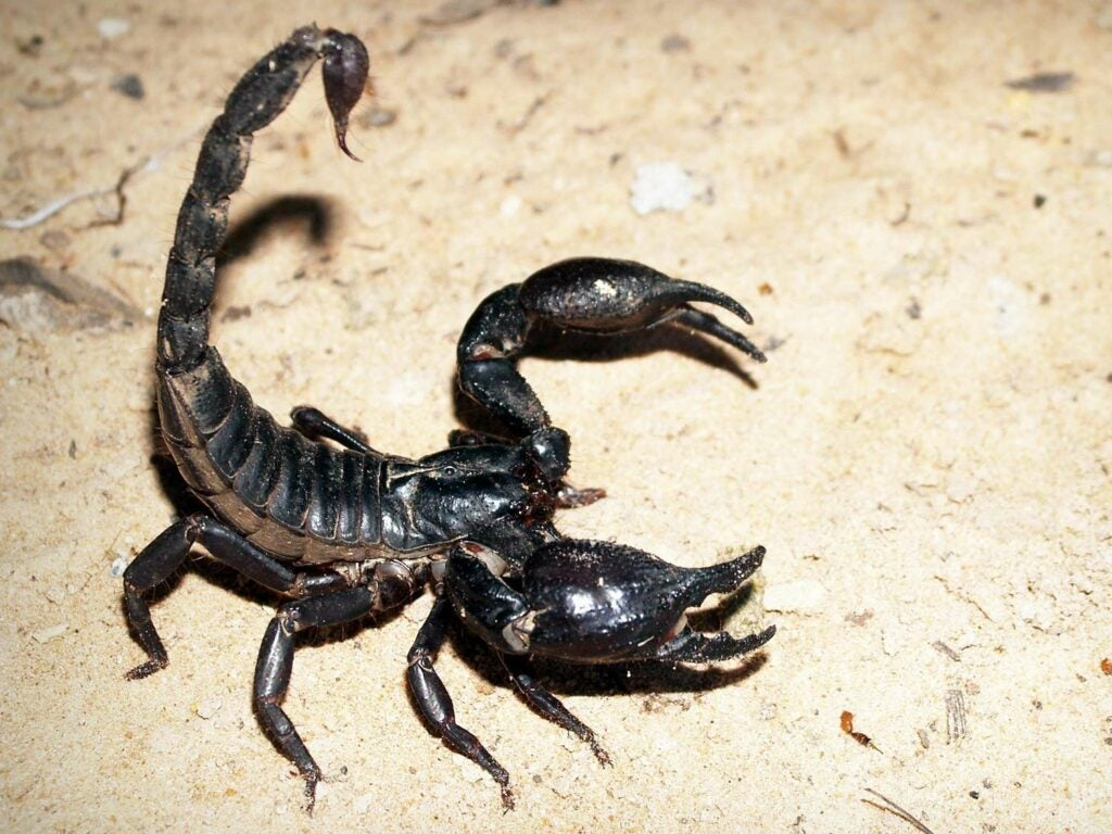 A black scorpion in the sand.