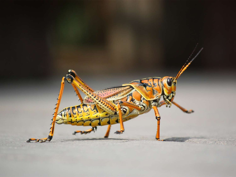 A yellow, black and orange grasshopper.