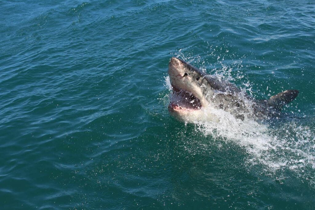 A large shark breaks the surface of the ocean.