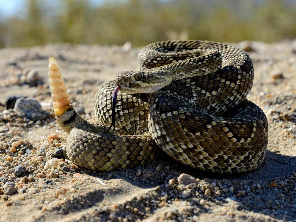 A Mojave Rattlesnake coiled up and prepared for a strike.