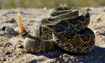 What's the Deadliest Snake in the World?