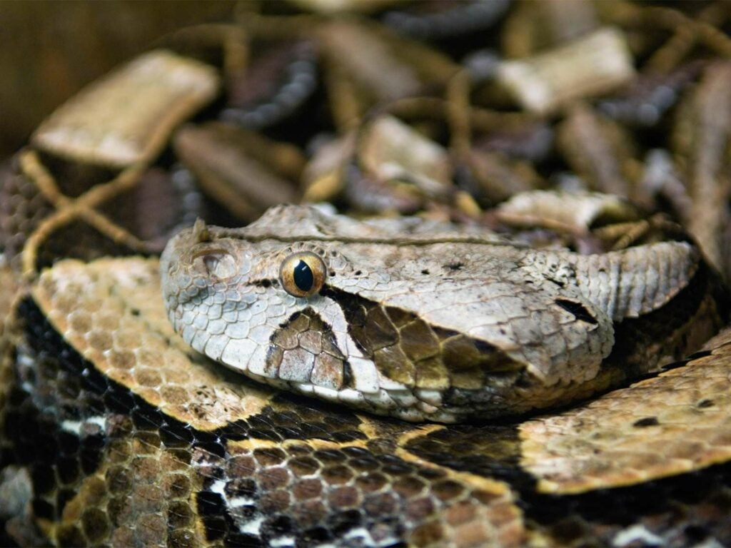 Close up detail of a Gaboon viper.