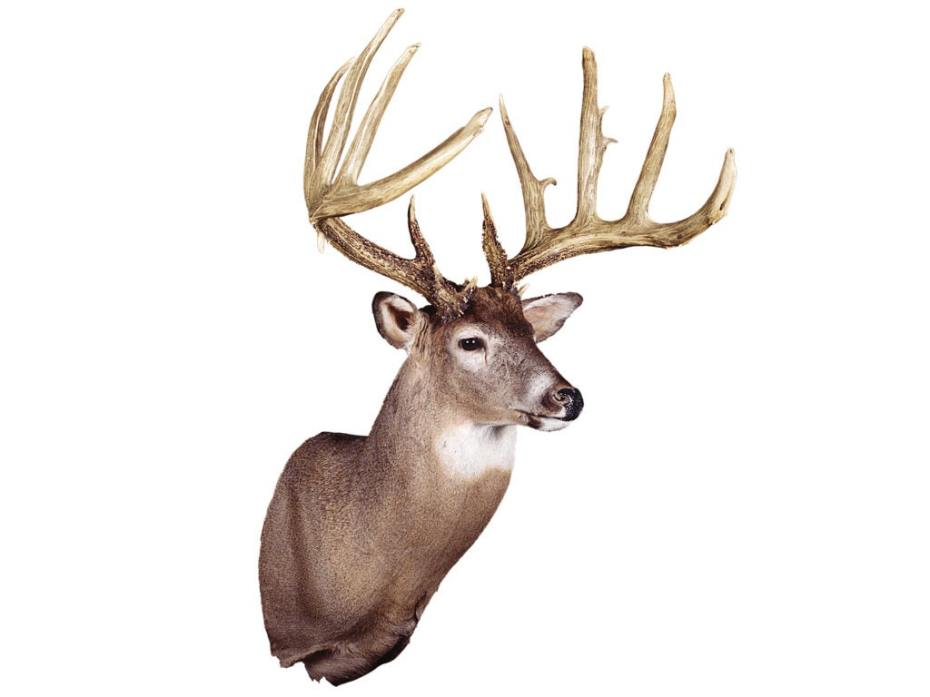 A trophy whitetail deer wall mount on a white background.