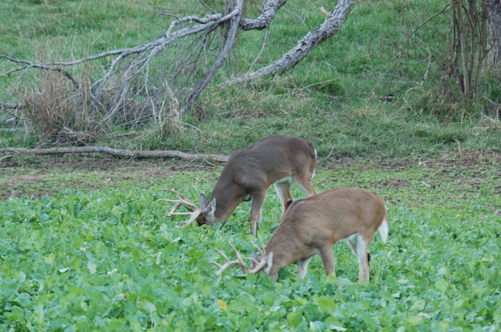 A pair of good bucks chow down, with heads buried in a brassica plot.