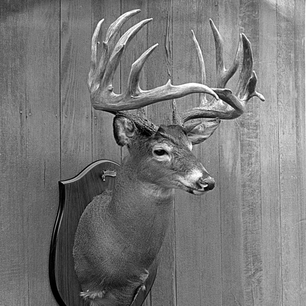 Black and white image of a whitetail deer head mounted on the wall.