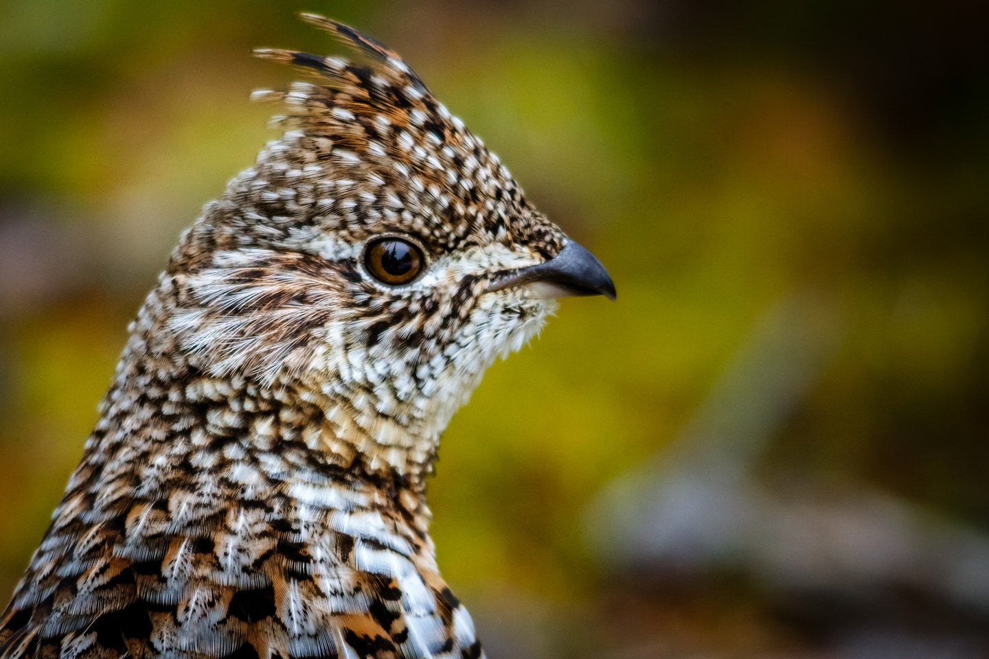 A ruffed grouse in the woods.