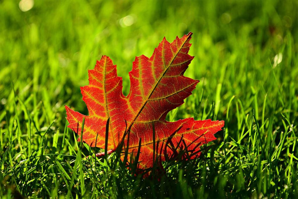 A red maple leaf on cut grass.