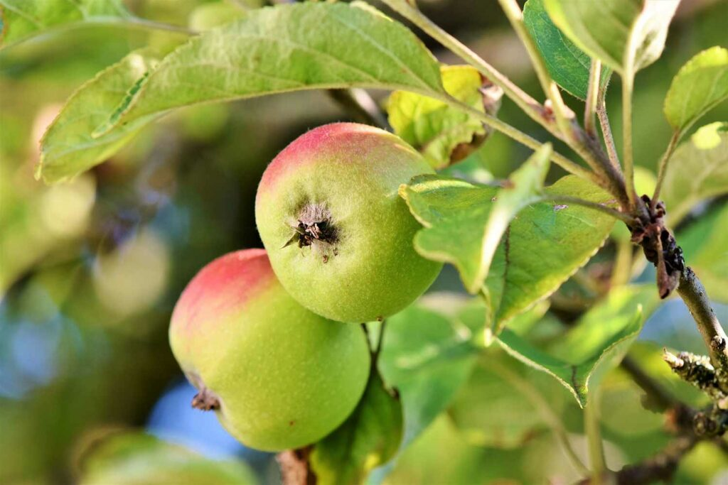 A green and red ripening apple on a tree branch.