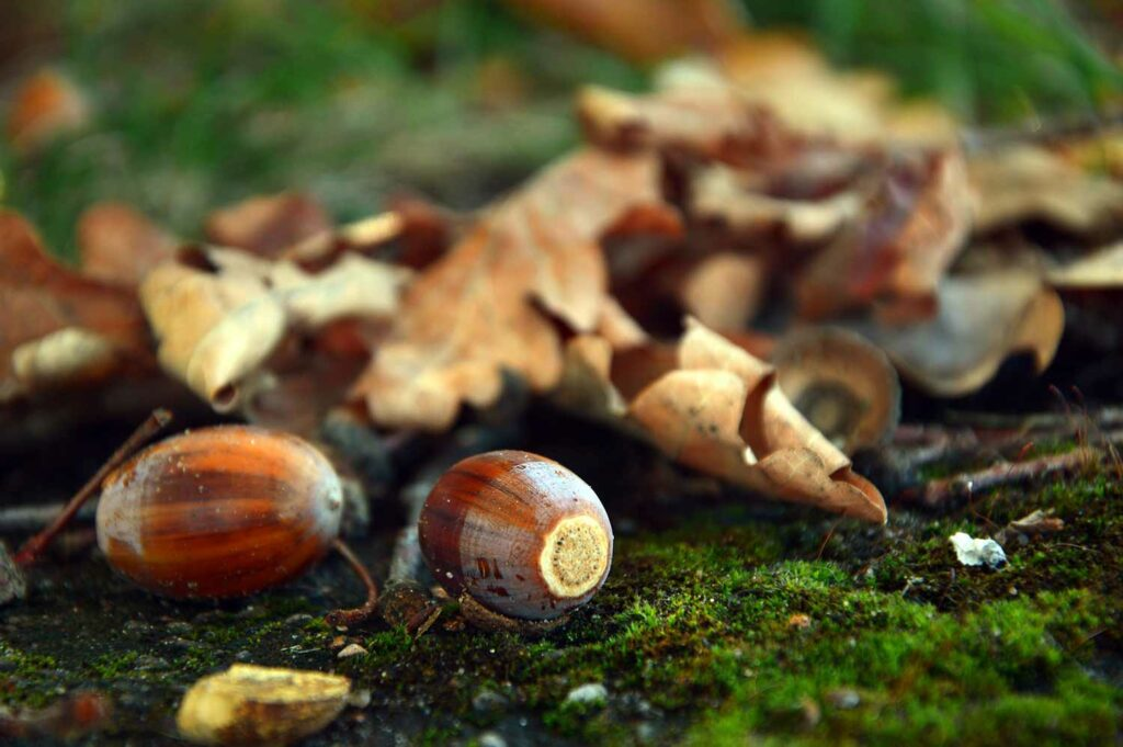 A pile of acorns and leaves on the ground.