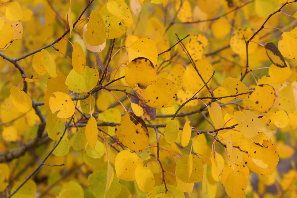 Golden yellow aspen leaves on branches.