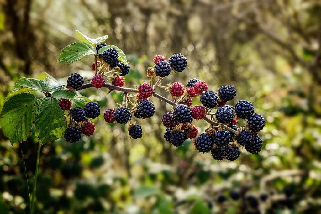 A mess of blackberries on a branch.
