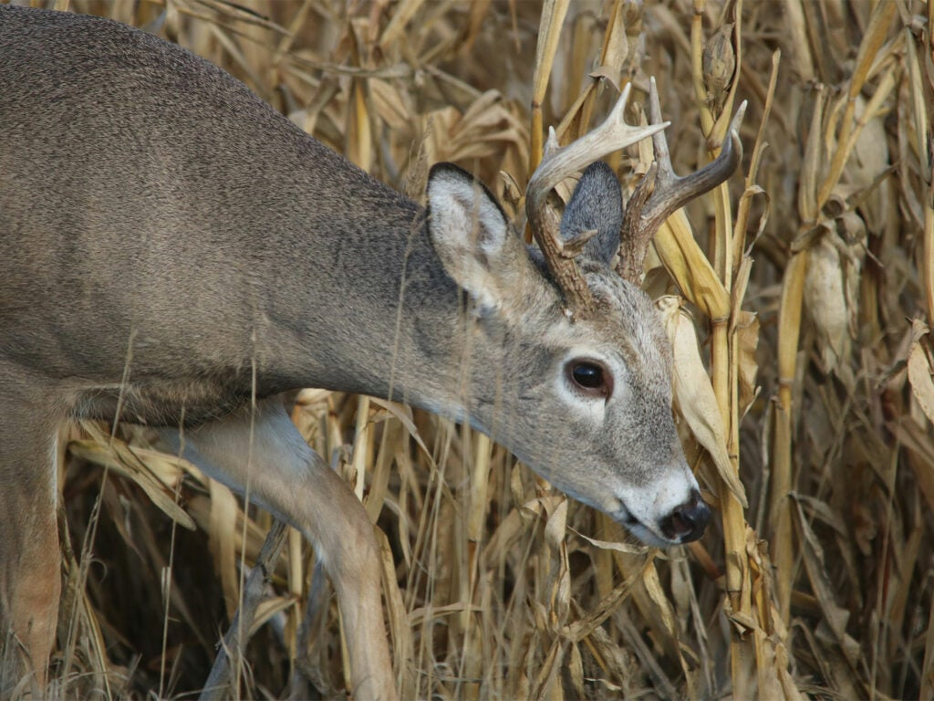 A young whitetail buck with antlers in the woods.