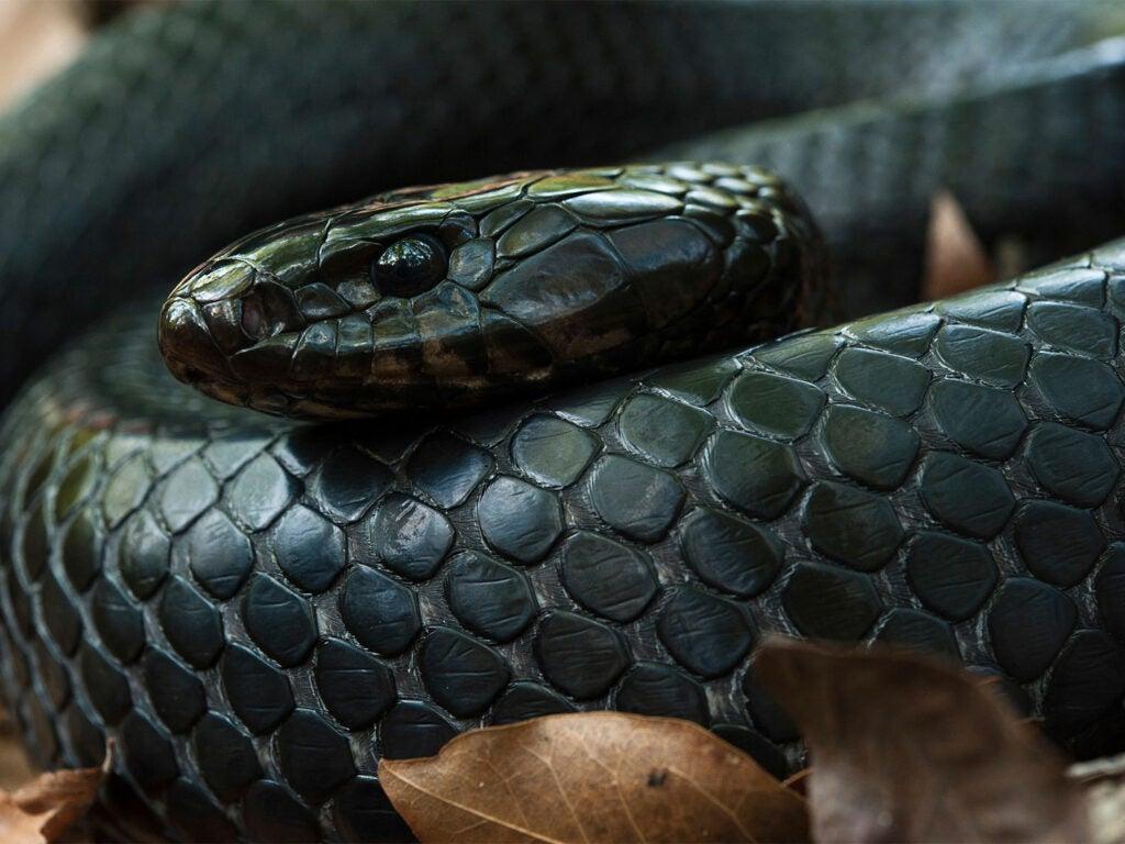 A coild up eastern indigo black snake.