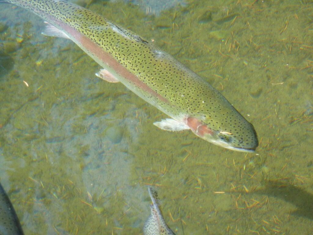 A rainbow trout underwater.