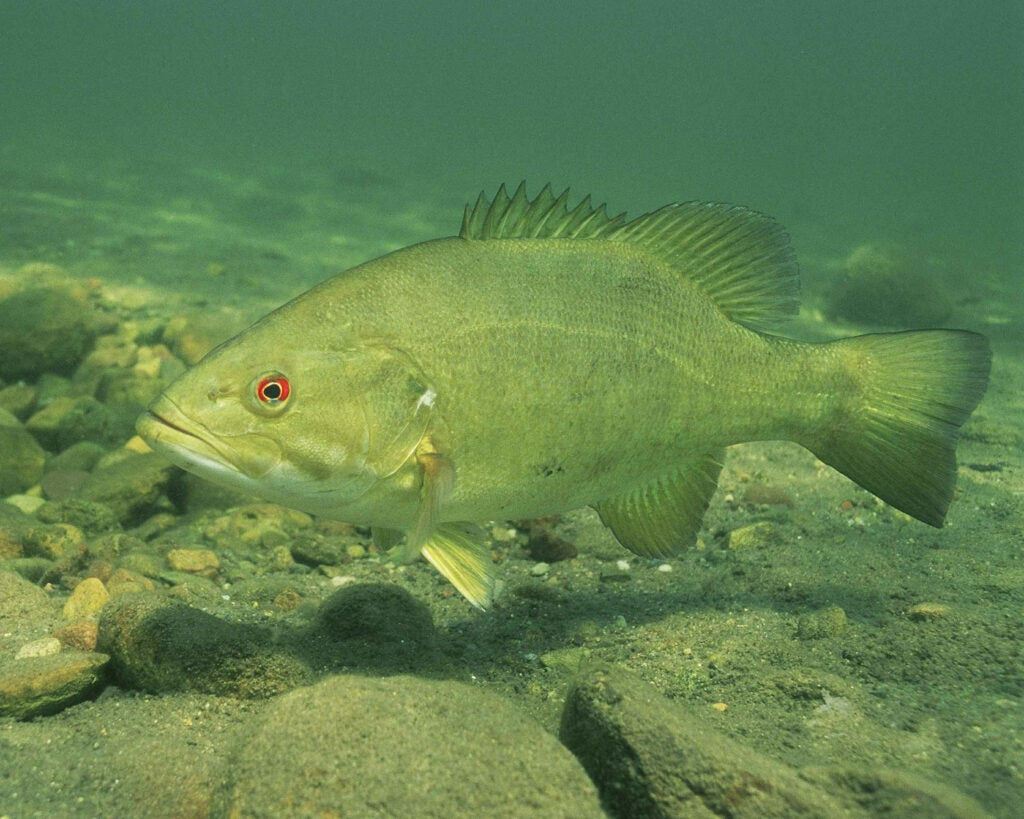 A smallmouth bass swimming underwater