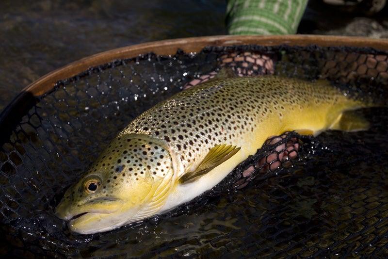 brown trout in net.