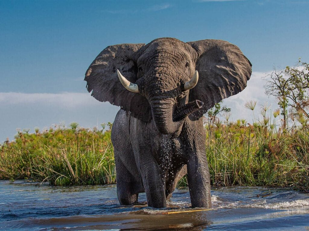 A large African elephant in a stream.