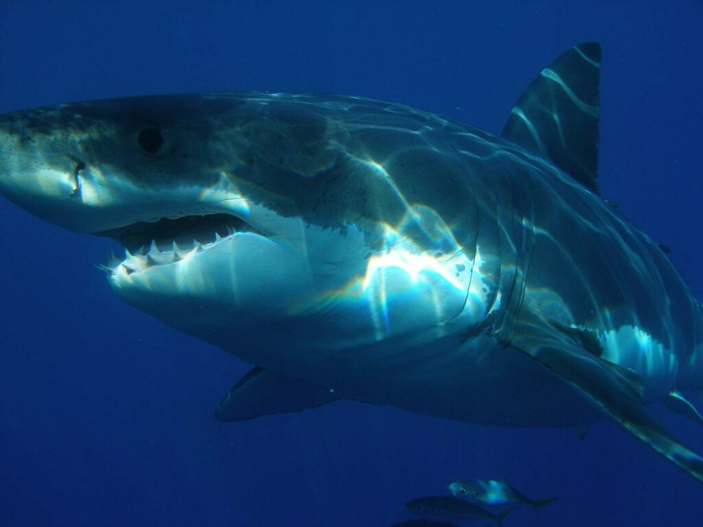 A great white shark underwater.